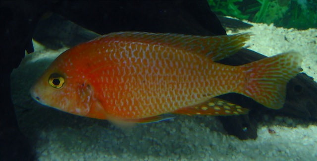 Aulonocara red dragon samec